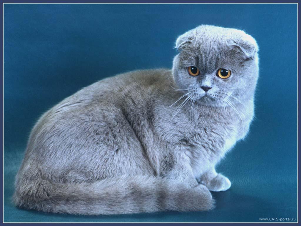 фото коты британец